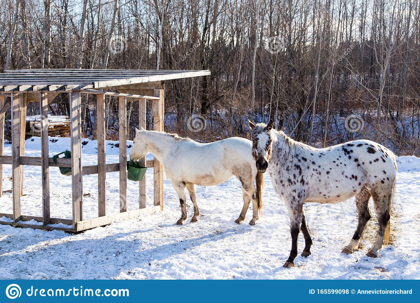 Beautiful Appaloosa Horse With White Coat And Brown Spots Standing In Pen Staring Next To Cream Coloured Animal Stock Photo Image Of Breed Countryside 165599098