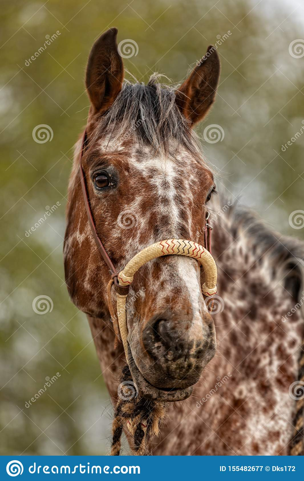 603 Appaloosa Stallion Photos Free Royalty Free Stock Photos From Dreamstime