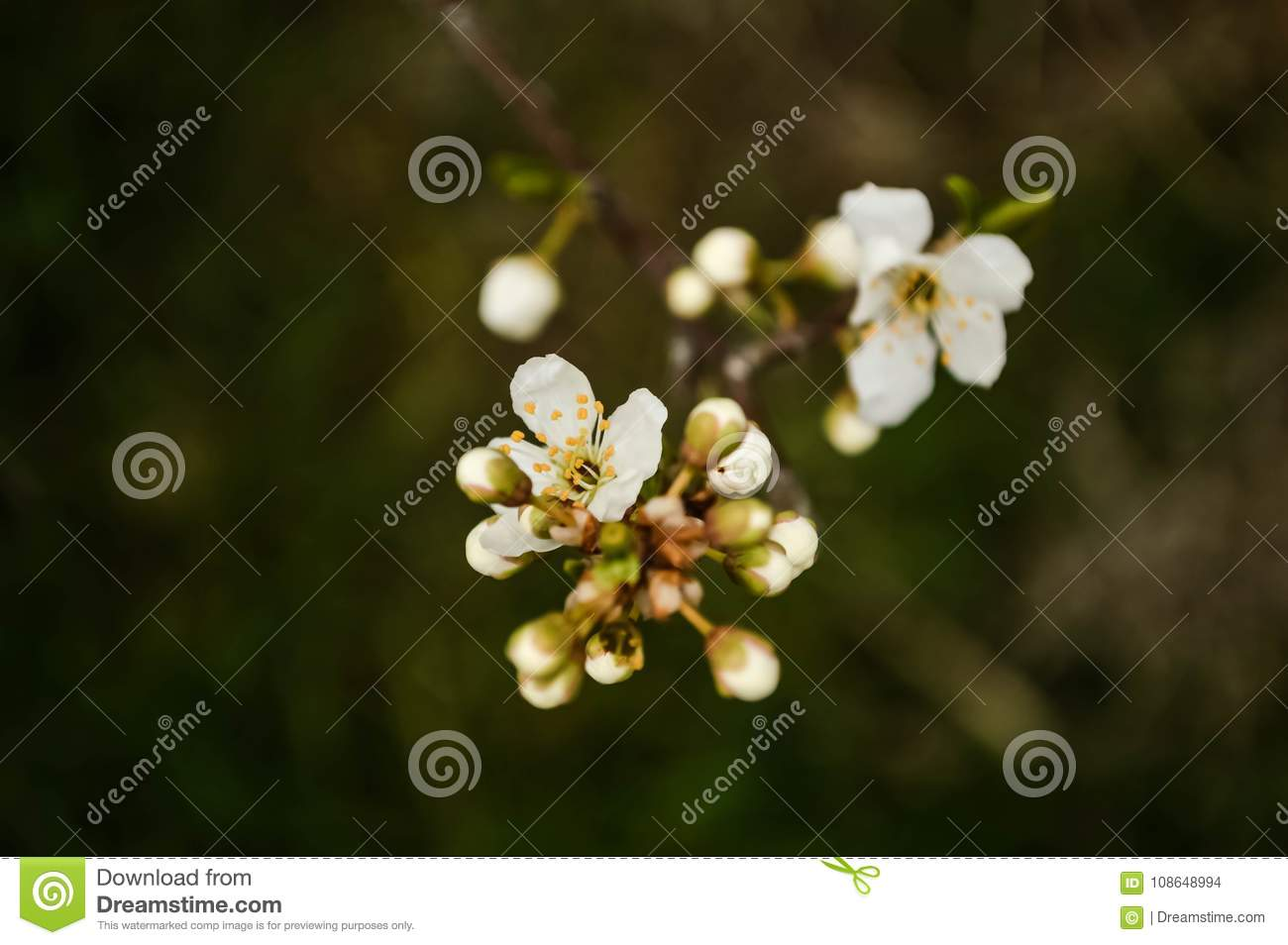 Beautiful Apricot Blossom Close Up In Garden. Branch Of Blooming ...