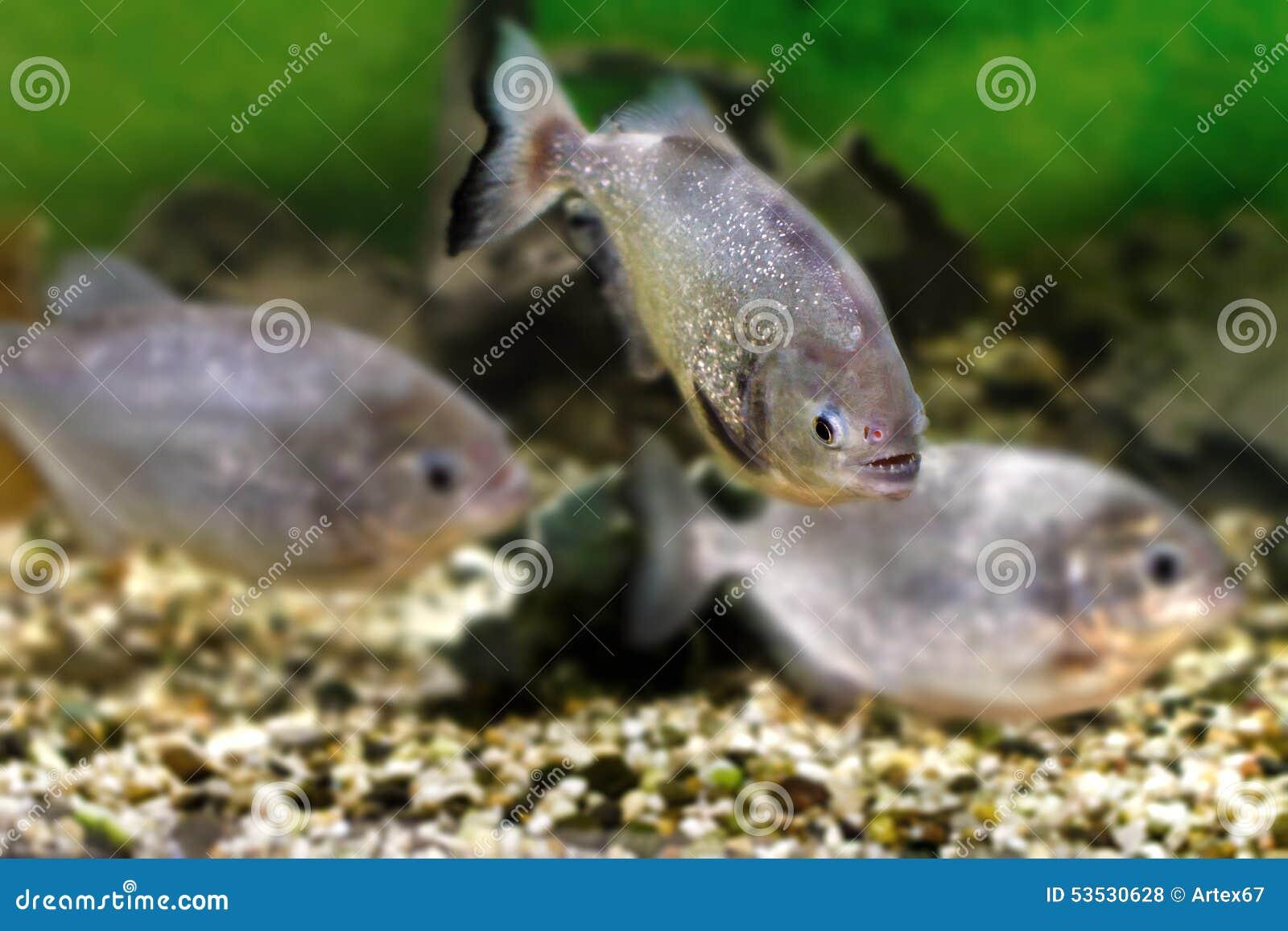Freshwater aquarium fish piranha - Beautiful Aquarium Fish Piranhas