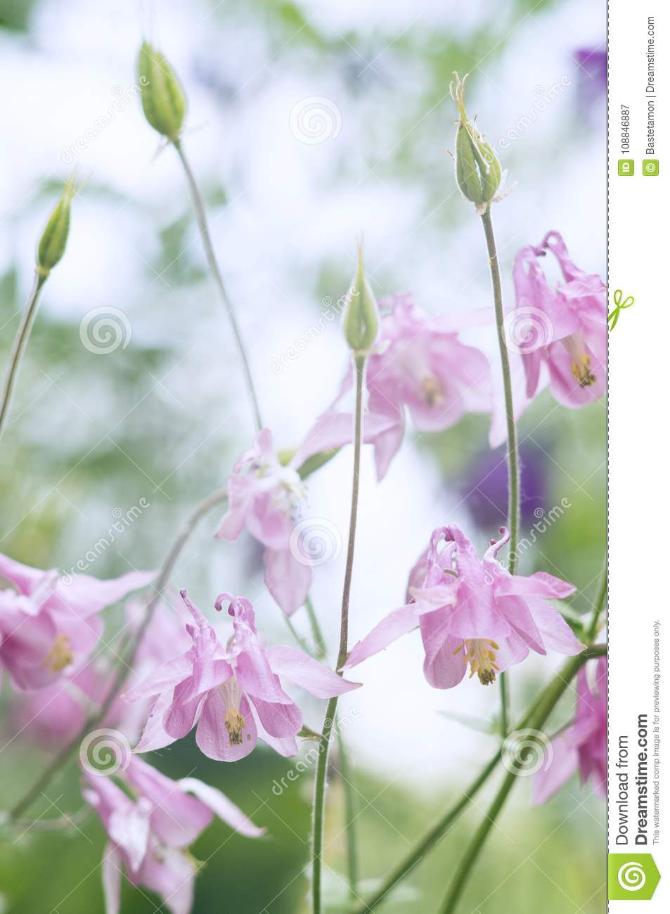 Beautiful Aquilegia Flowers Stock Image Image Of Columbine