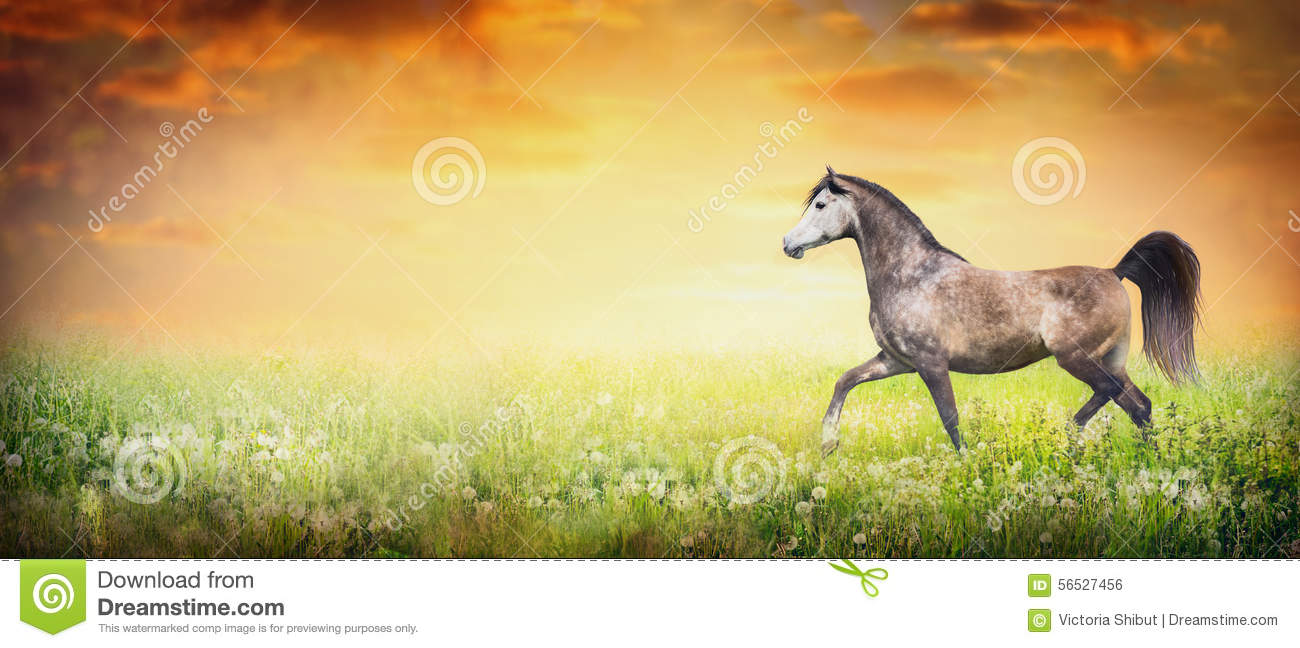 Beautiful arabian horse running trot on summer or autumn nature background with sunset sky, banner