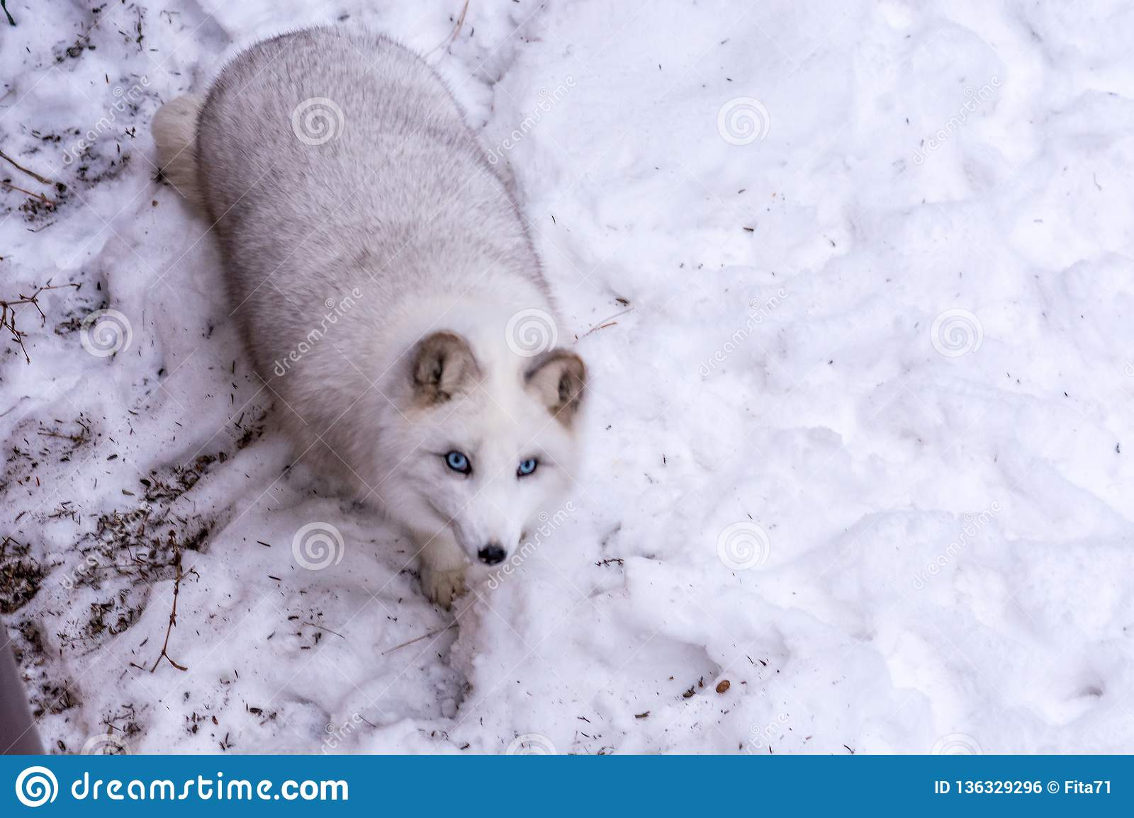 Beautiful Arctic Fox with the most beautiful blue eyes of the world