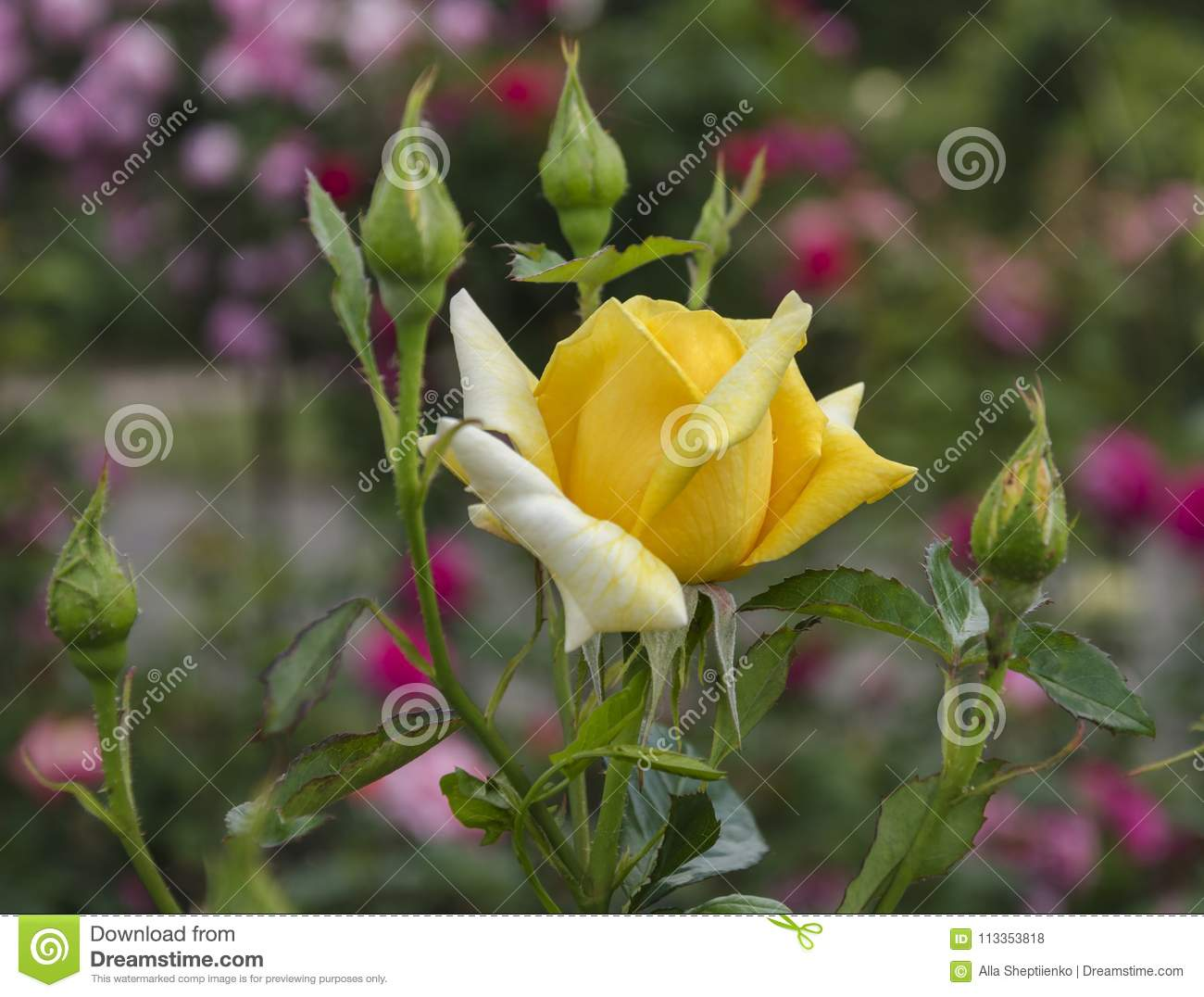 Flower Of Fragrant Yellow Rose Stock Photo Image Of Nature Flora