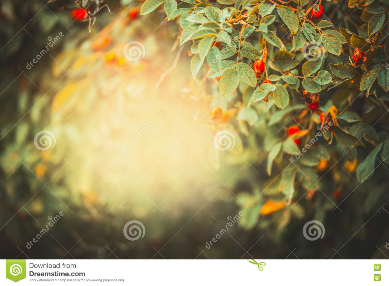 Beautiful autumn nature background with frame of dog roses with red fruits and berries in garden or park at sunset light