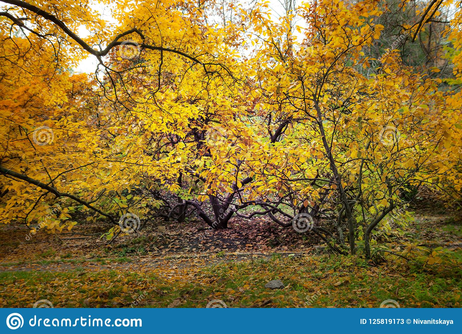A Beautiful Autumn Tree With Yellow Foliage. Magnolia In The ...