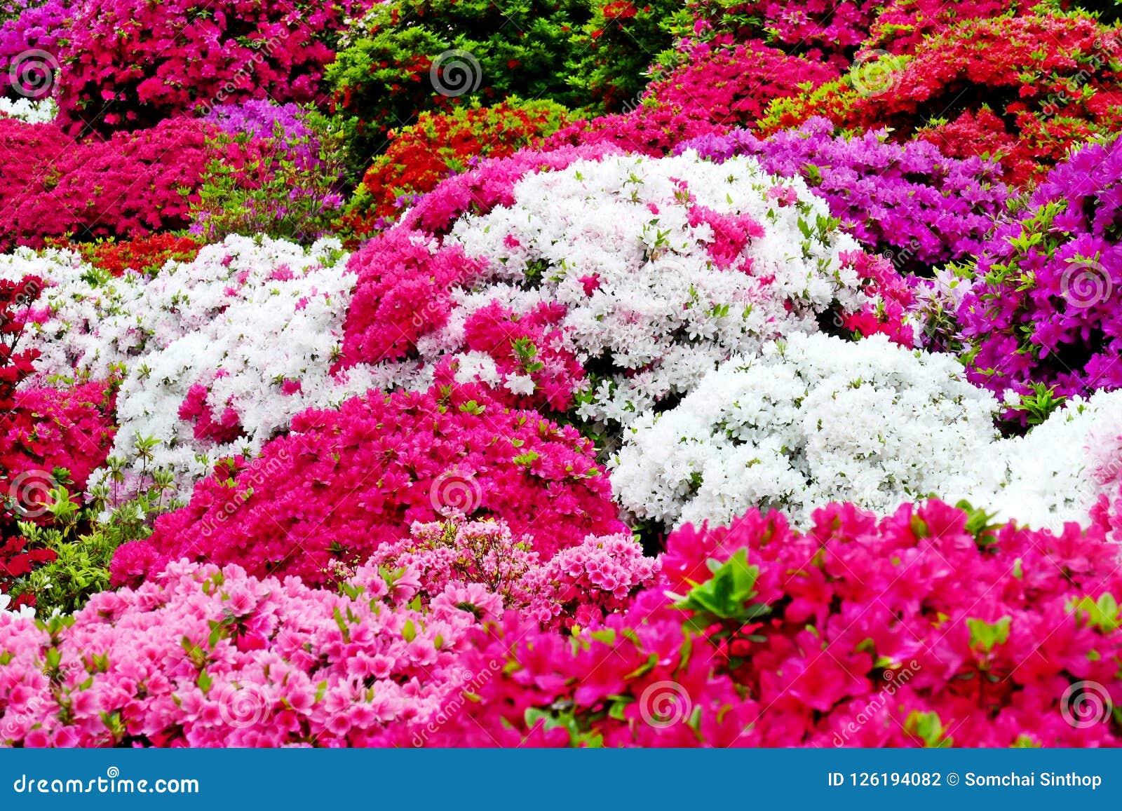 Beautiful Azalea Flowers At Nezu Shrine Tokyo Stock Photo Image