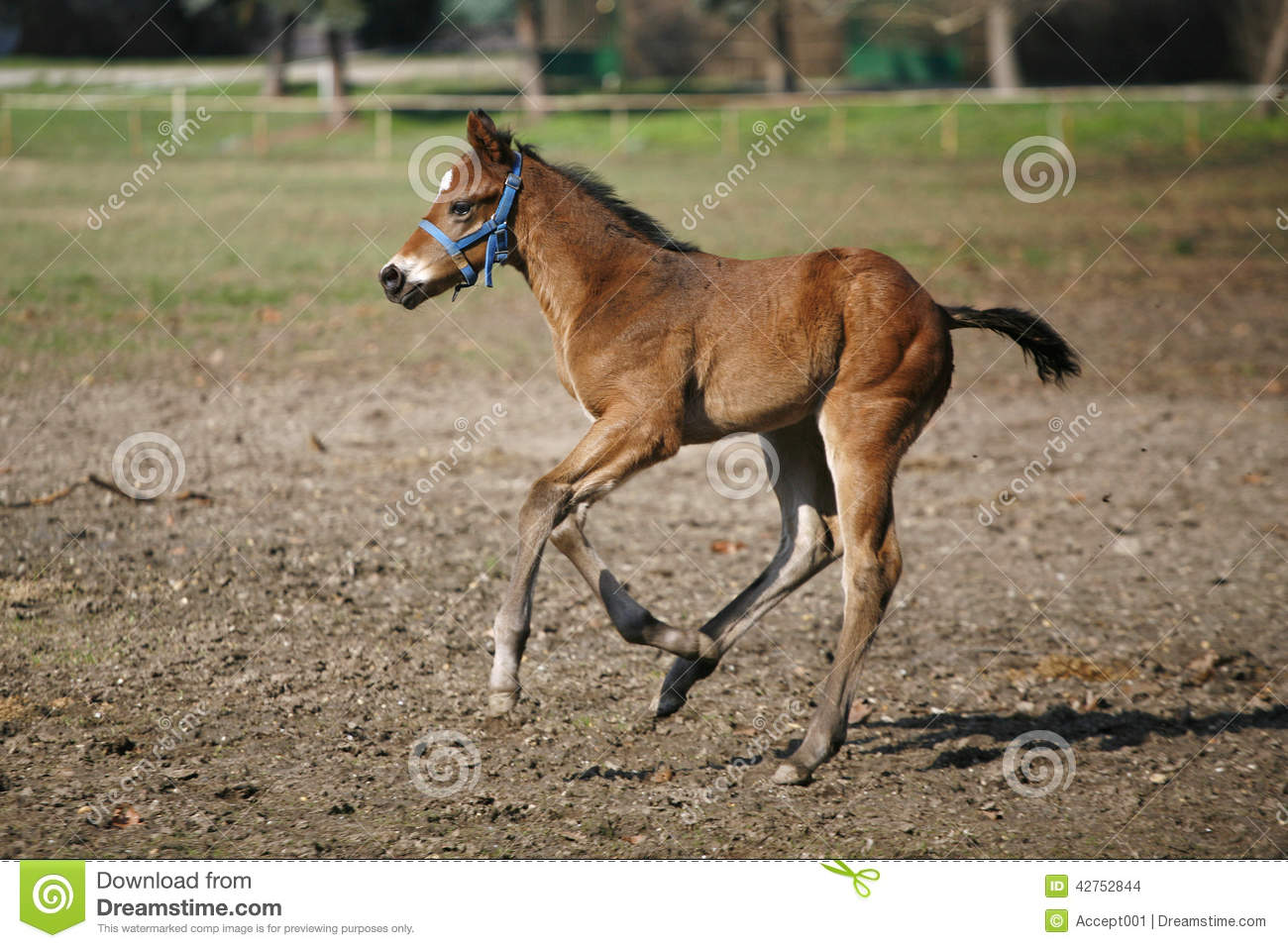 Beautiful Baby Horse Galloping In The Field Stock Photo Image Of Horse Grass 42752844
