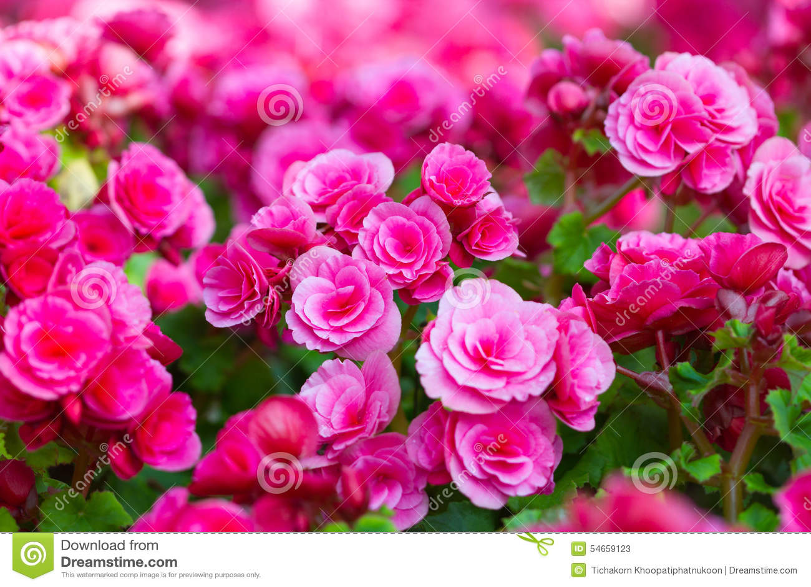 beautiful background of flowers big begonias stock photo image