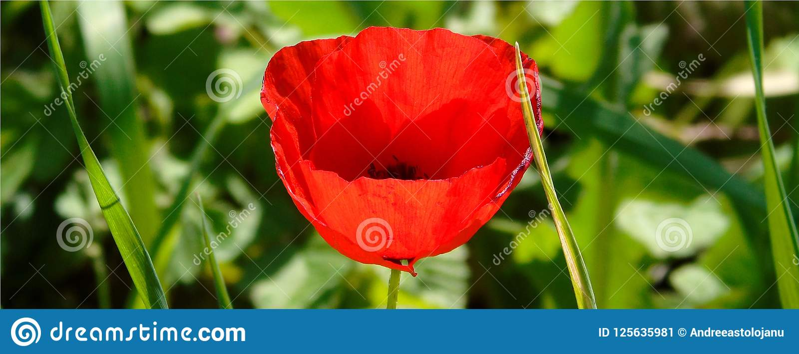 Wallpaper with closeup of red poppy flower on green meadow download wallpaper with closeup of red poppy flower on green meadow background stock image image mightylinksfo