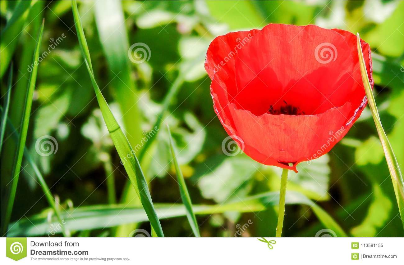 Wallpaper With Closeup Of Red Poppy Flower Illuminated On Green ...