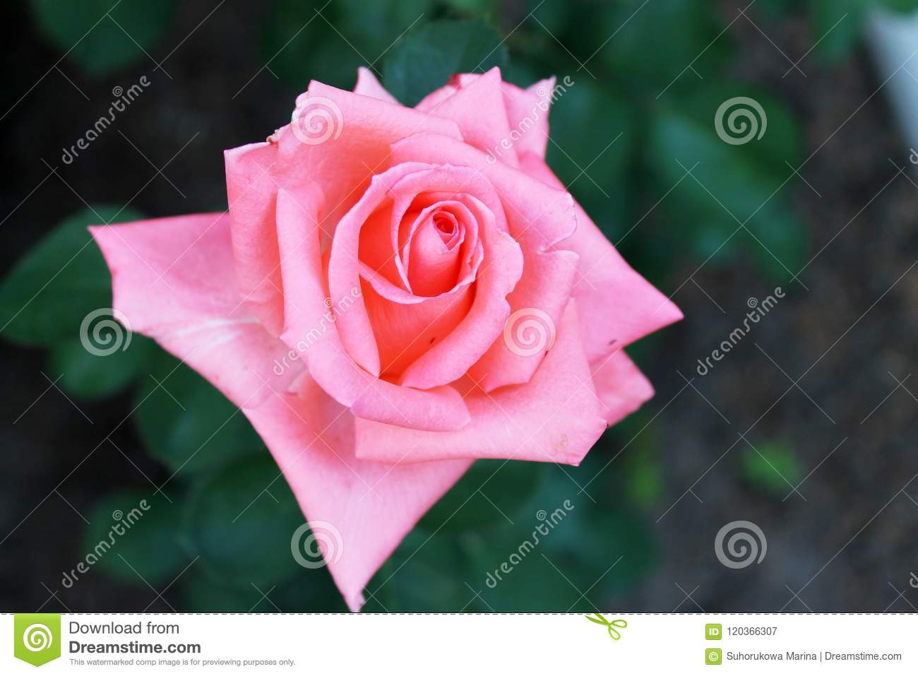 Beautiful rose flower backgrounds stock image image of circles beautiful backgrounds of flowers roses yellow pink alleys of roses izmirmasajfo