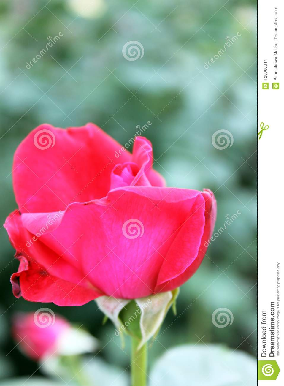 Beautiful rose flower backgrounds stock photo image of decoration beautiful backgrounds of flowers roses yellow pink alleys of roses izmirmasajfo