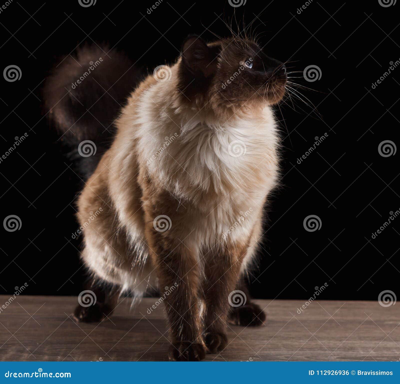 Beautiful Balinese Cat On Black Stock Photo Image Of Kitty