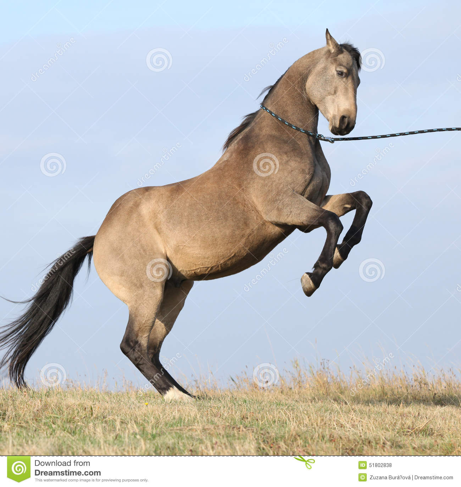 Animal-Horse-Prancing Horse