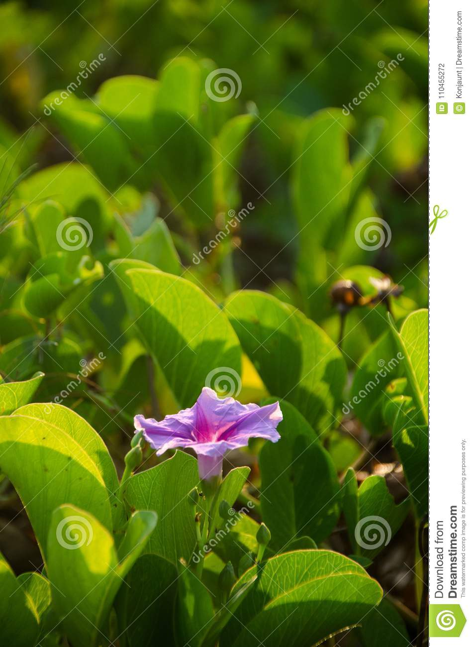 Ipomoea pes-caprae, Green Leafs Goat`s Foot Creeper on the beach