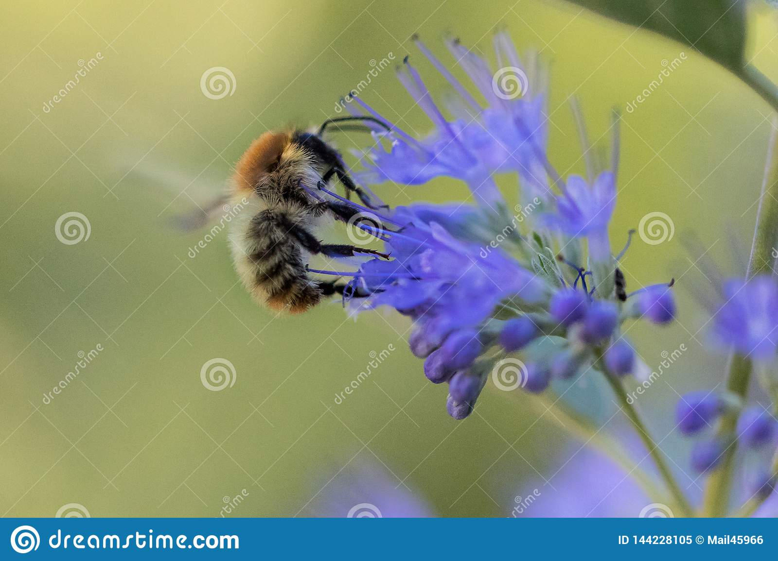 Bee with blue bloom in the garden