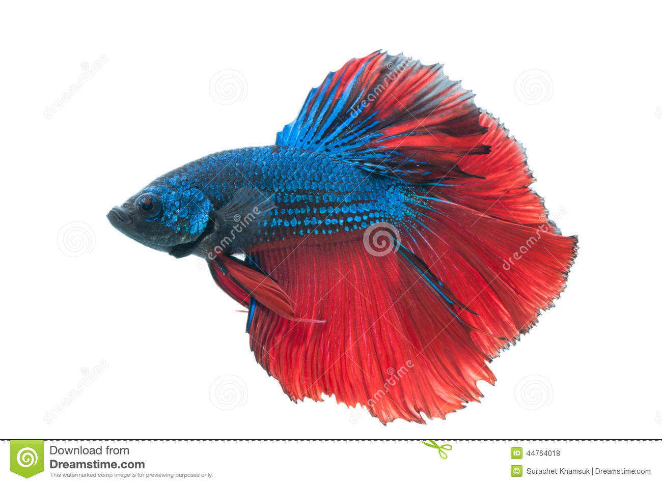 Red male betta fish - Animal Kid
