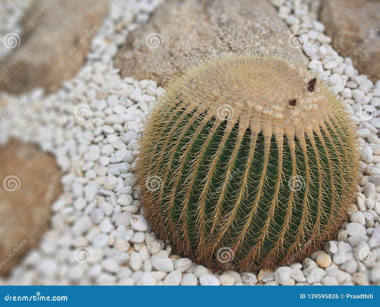 The big ball cactus tree in the garden
