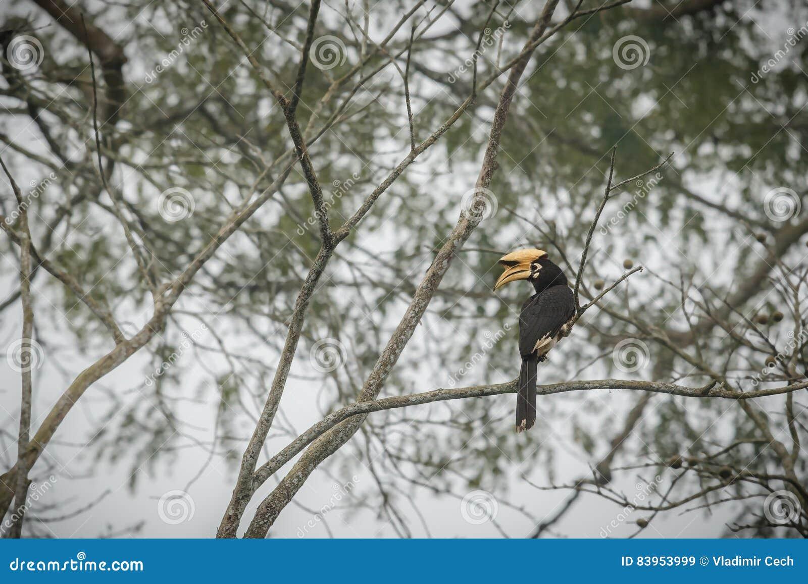 Beautiful big bird hornbill on a tree in Kaziranga, India