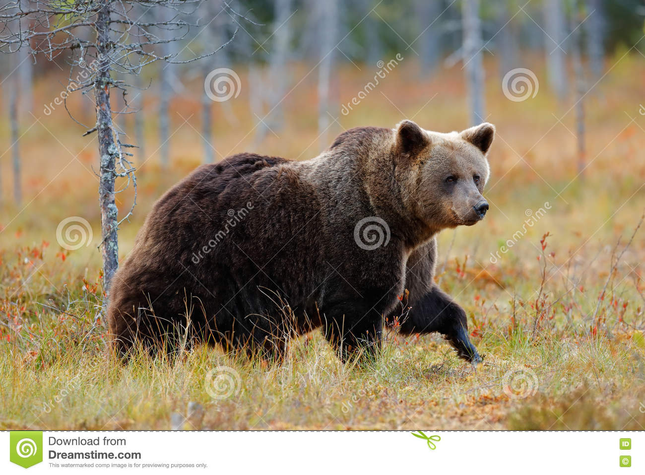 Beautiful big brown bear walking around lake with autumn colours. Dangerous animal in nature forest and meadow habitat. Wildlife