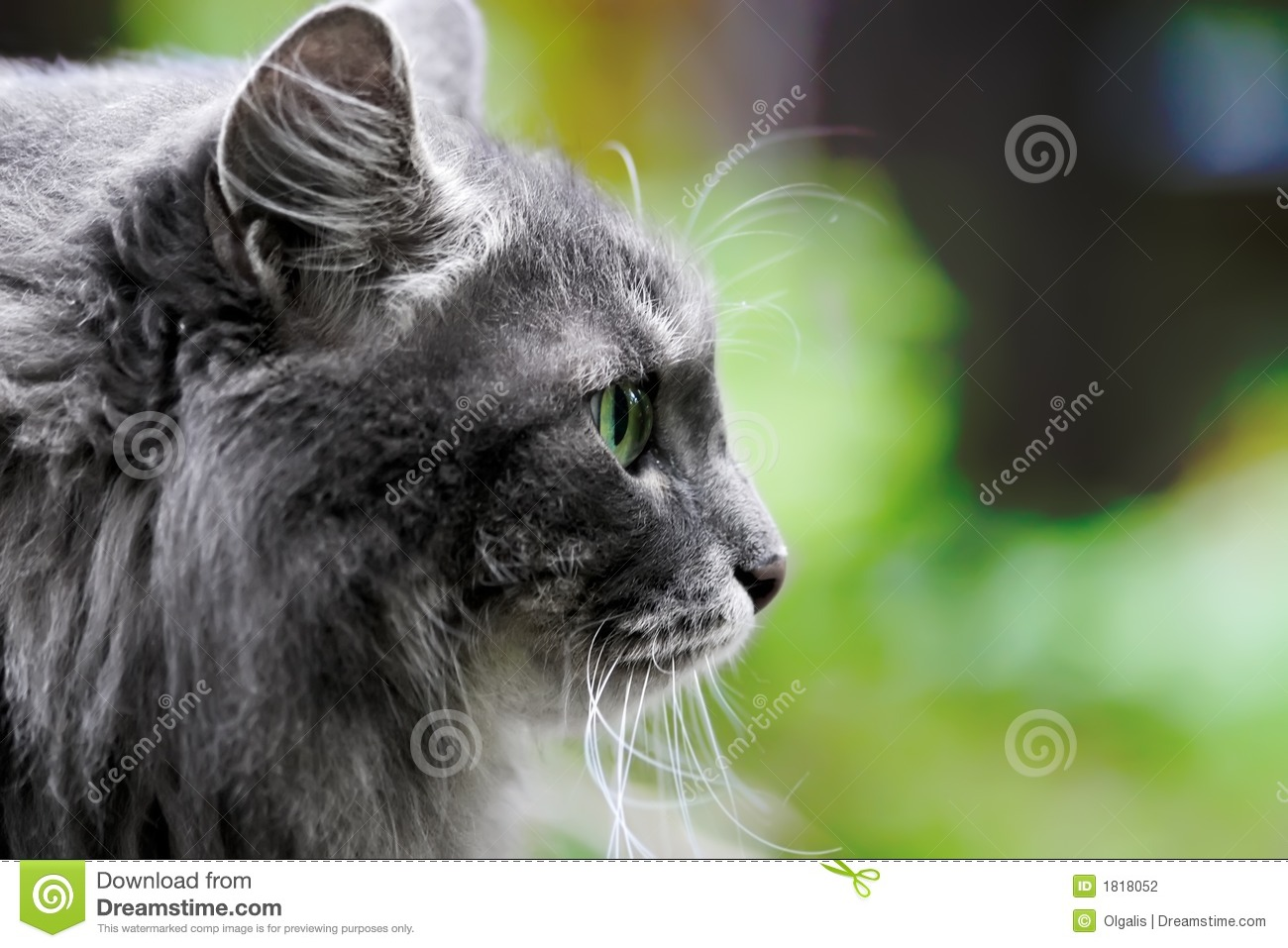 Beautiful Big Grey Cat With Green Eyes Stock graphy Image