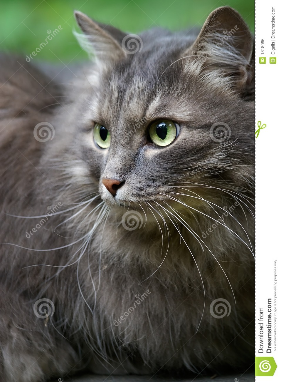 Beautiful Big Grey Cat With Green Eyes Royalty Free Stock