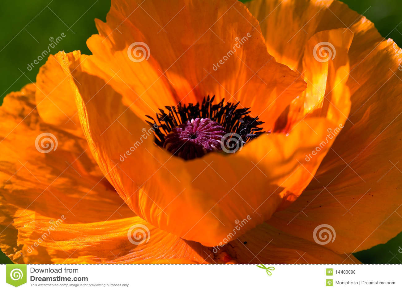 Beautiful Big Orange Poppy Flower Stock Photo Image Of Memory
