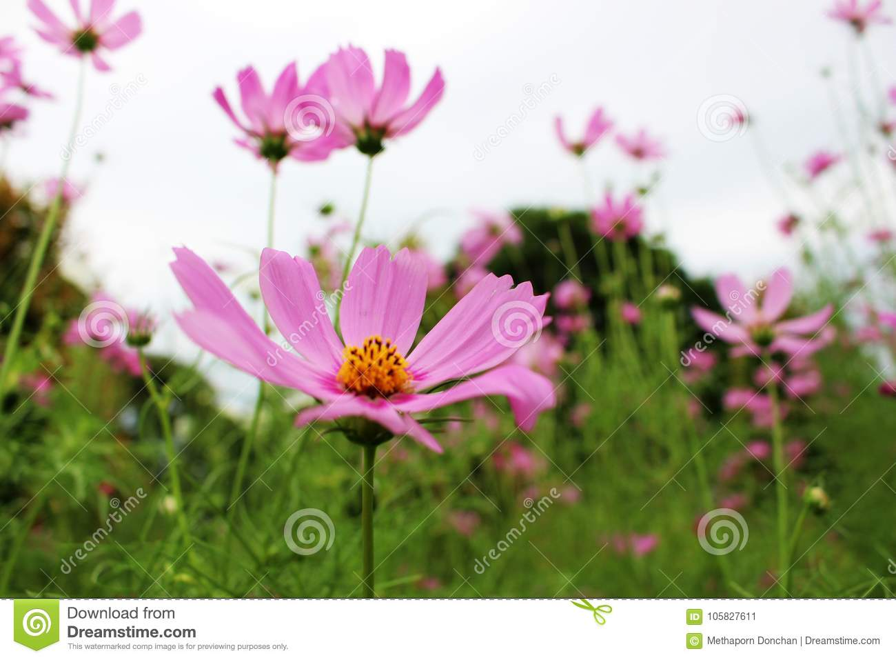 Beautiful Big Pink Color Of Cosmos Flowers In Garden Stock Image