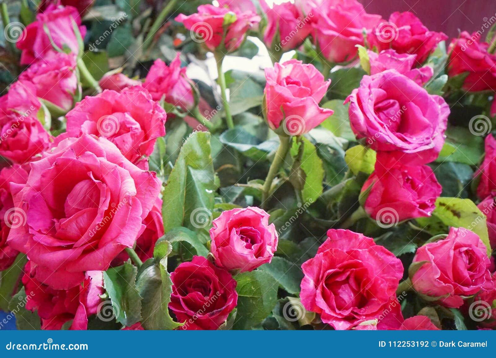 Beautiful big pink roses flower wedding decoration stock - Big rose flower wallpaper ...