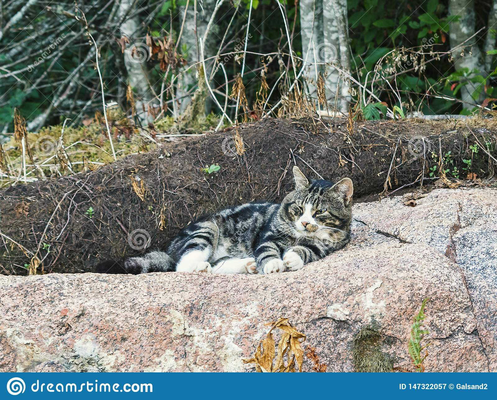 Beautiful big tabby cat lies on a huge rock and watches what is happening around