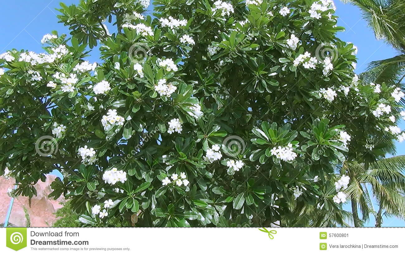 Luxury tree with white flowers and large leaves pictures wedding tree big leaves white flowers images flower decoration ideas mightylinksfo