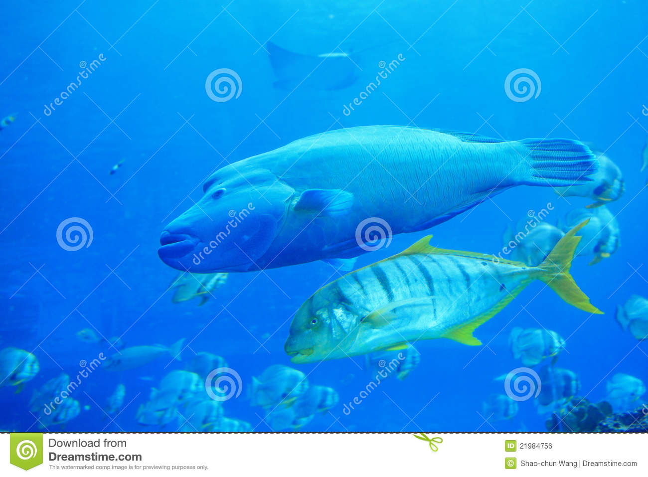 Beautiful big two tropical fish royalty free stock image for Big fish in the ocean