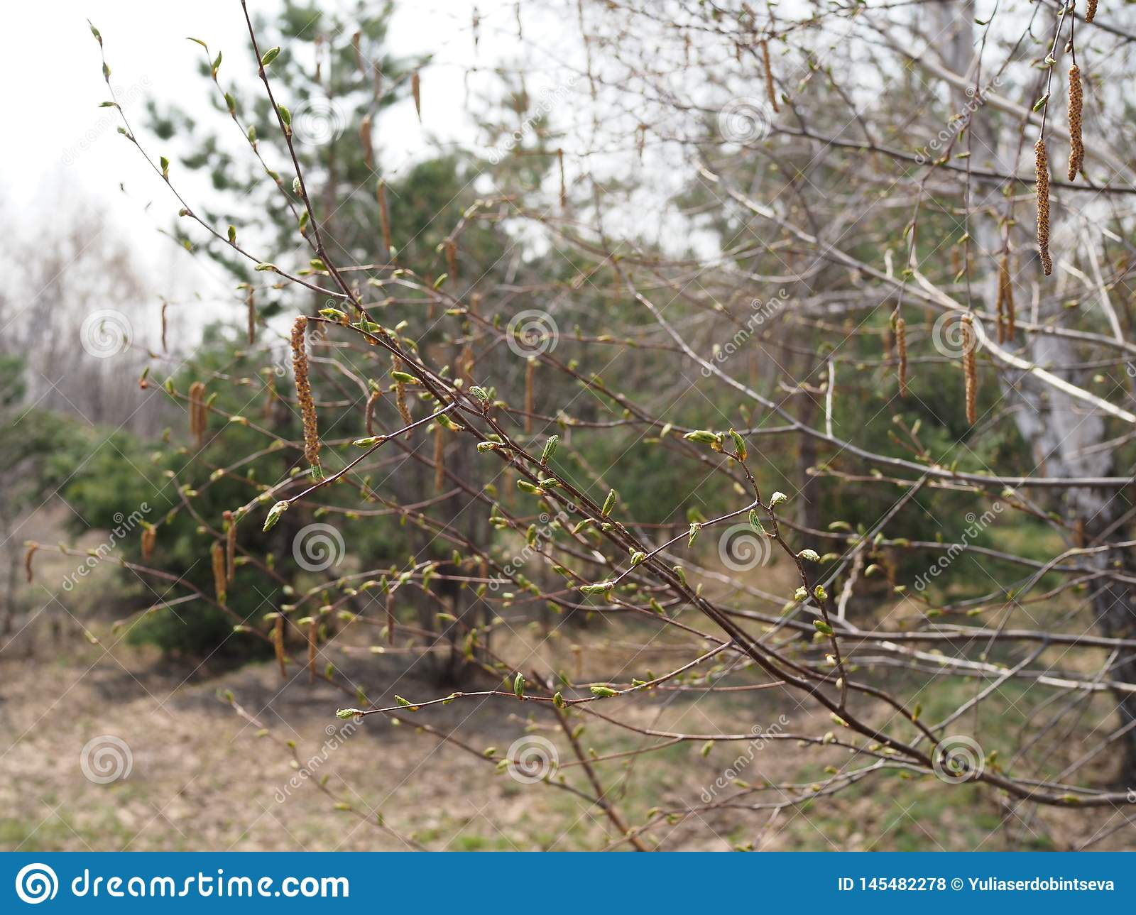 Beautiful birch branches with blossoming leaves on a Sunny spring day in the forest
