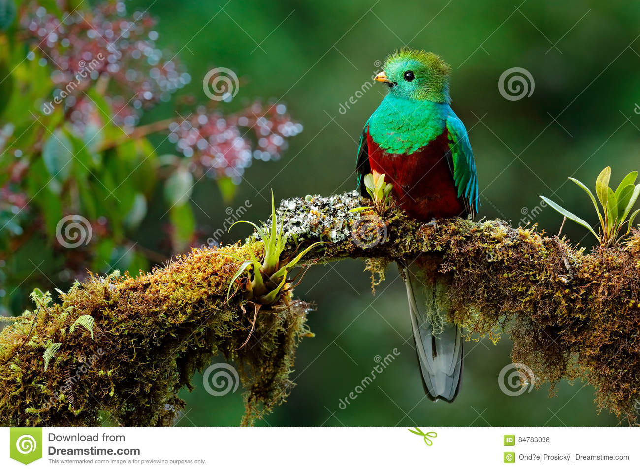 Beautiful bird in nature tropic habitat. Resplendent Quetzal, Pharomachrus mocinno, Savegre in Costa Rica, with green forest backg