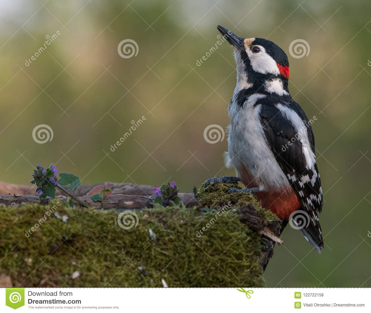 Great spotted woodpecker at a watering place