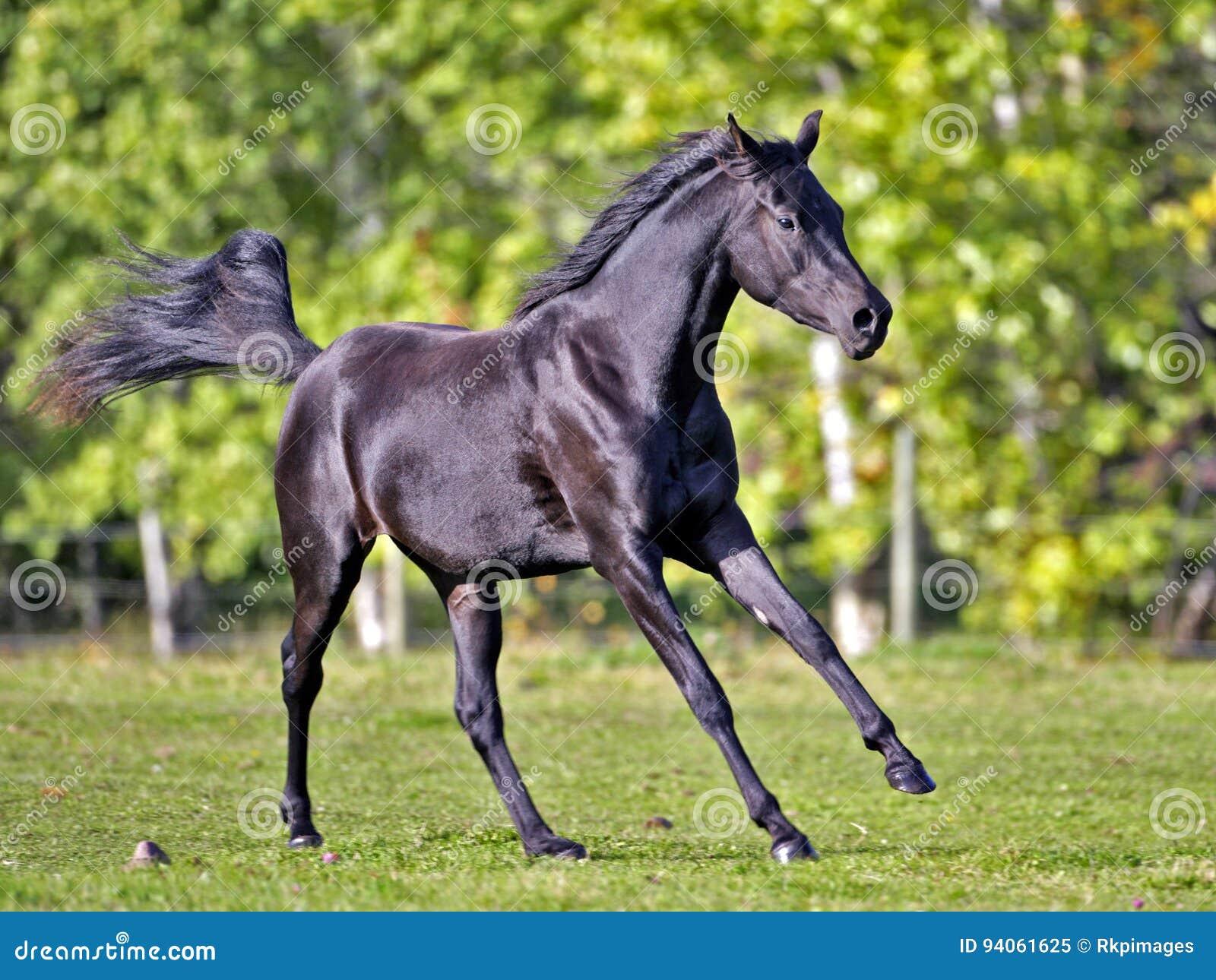 4 763 Black Arabian Horse Photos Free Royalty Free Stock Photos From Dreamstime