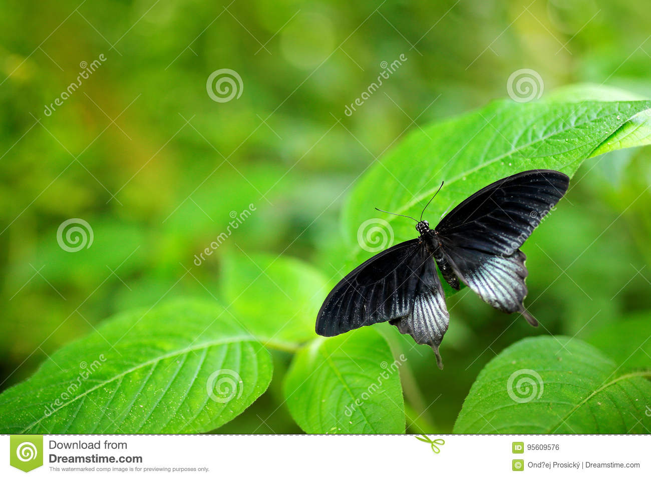 Beautiful black butterfly, Great Mormon, Papilio memnon, resting on the green branch. Wildlife scene from nature. Green vegetation