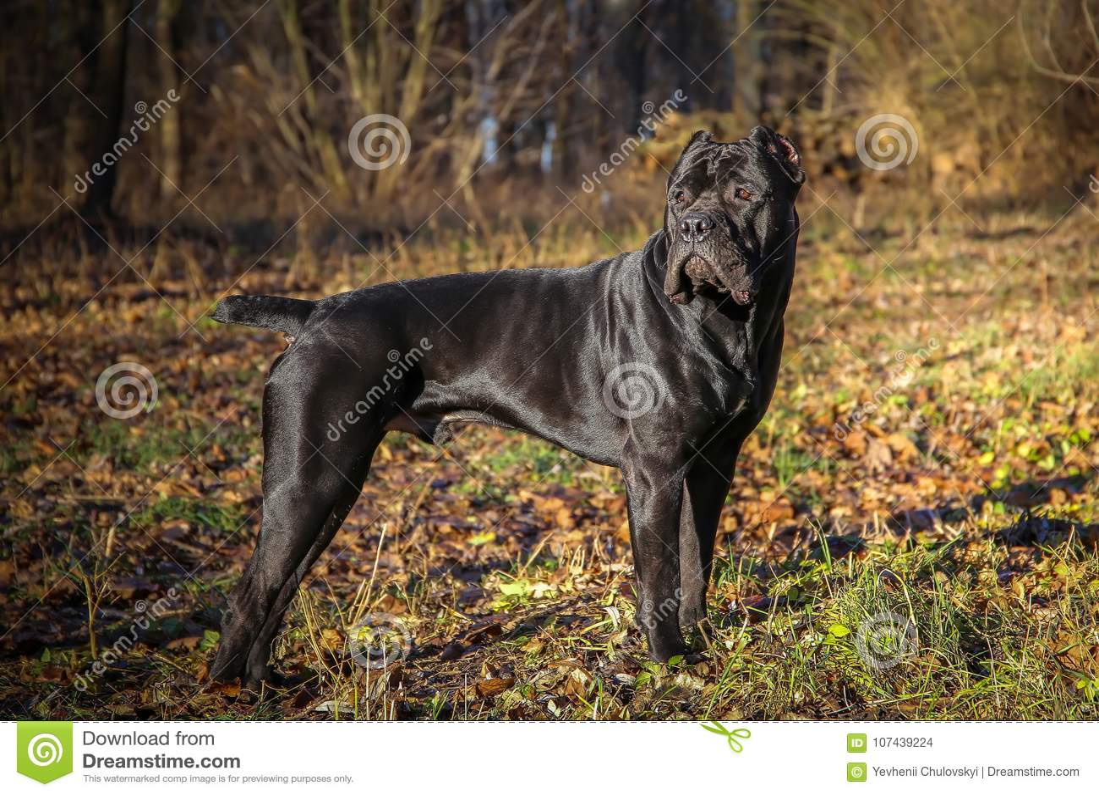 Beautiful Black Dog Standing Portrait Cane Corso Outdoor Stock