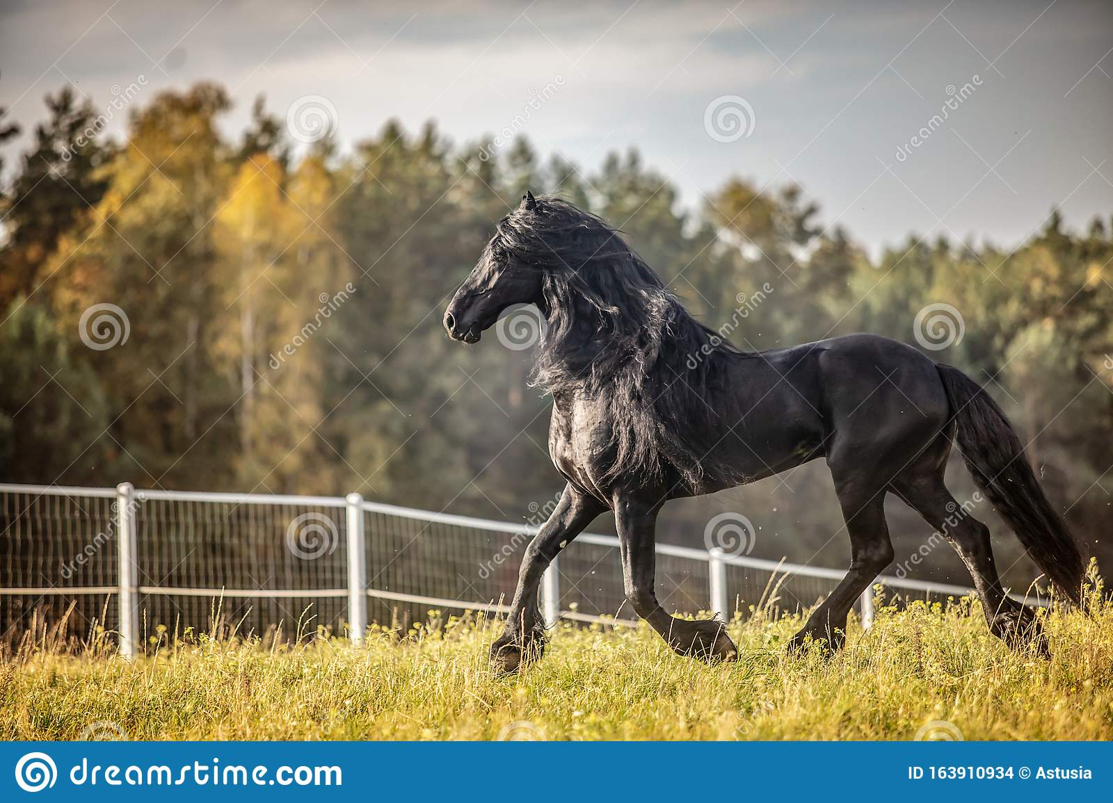 Beautiful Black Horse The Friesian Stallion Gallops On The Autumn Meadow Stock Photo Image Of Mare Green 163910934