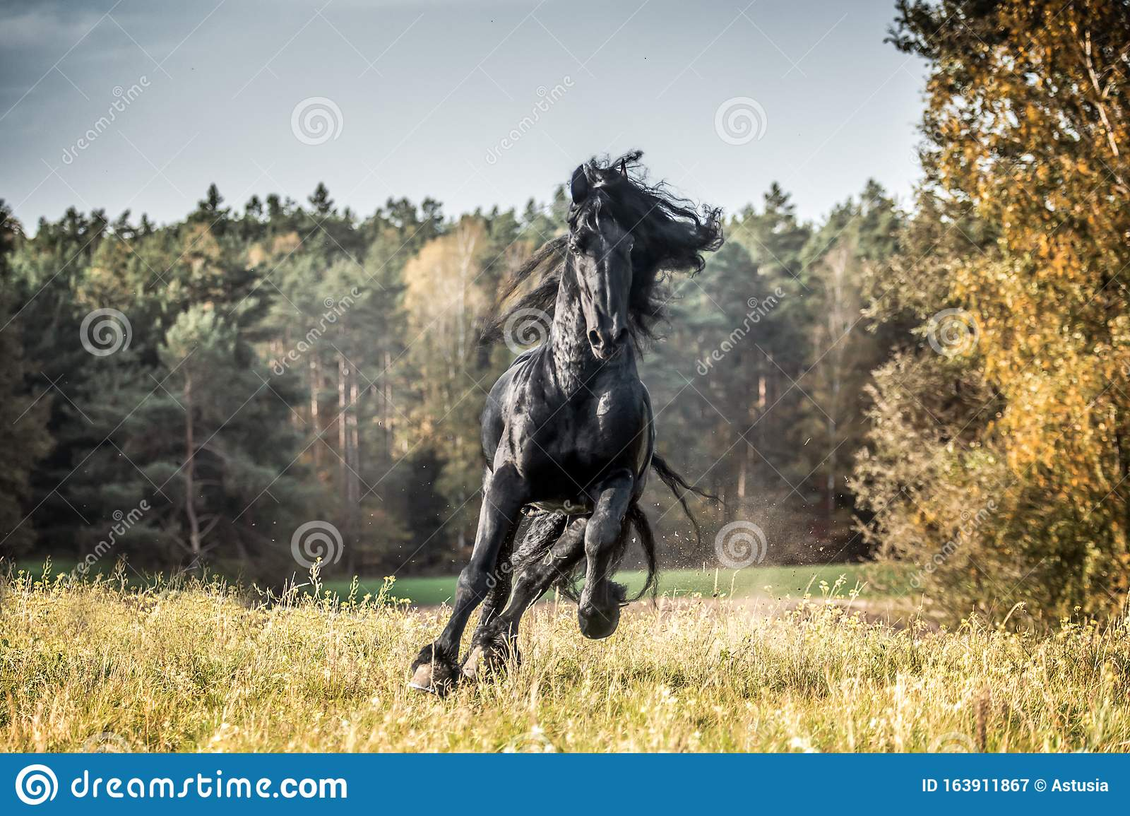 Beautiful Black Horse The Friesian Stallion Gallops On The Autumn Meadow Stock Image Image Of Equine Nature 163911867