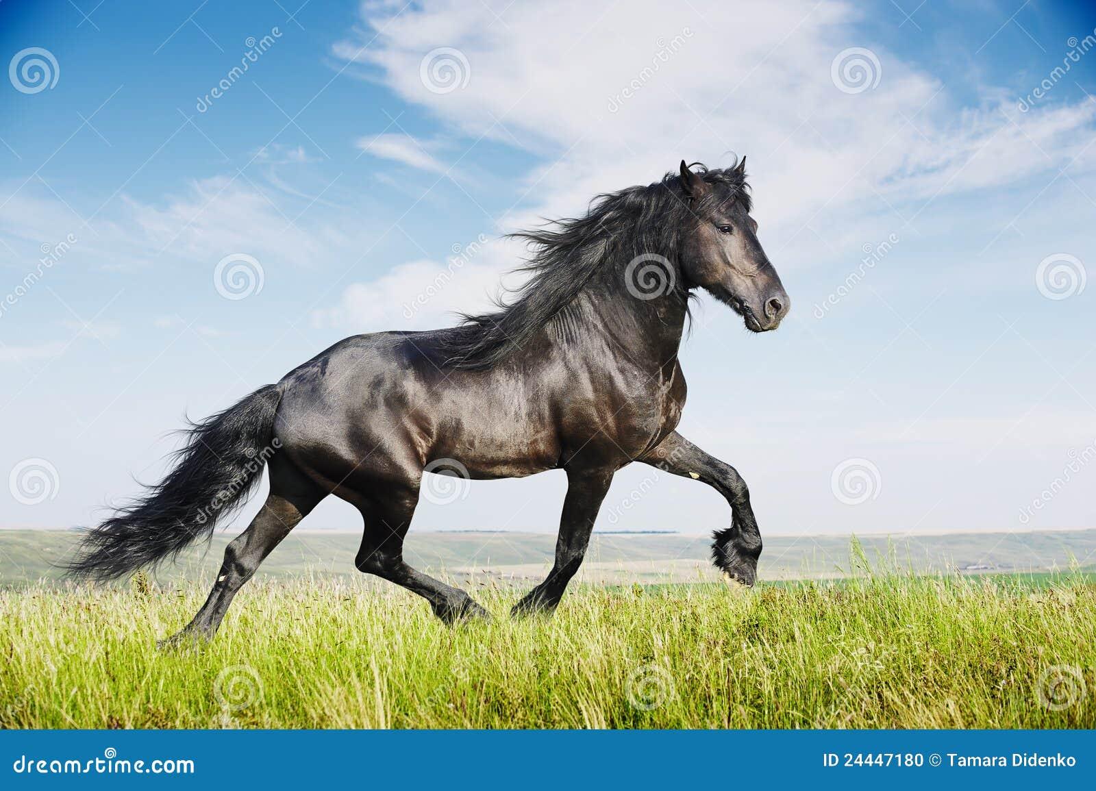 Beautiful black friesian stallion running trot on the field Images Of Black Horses Running