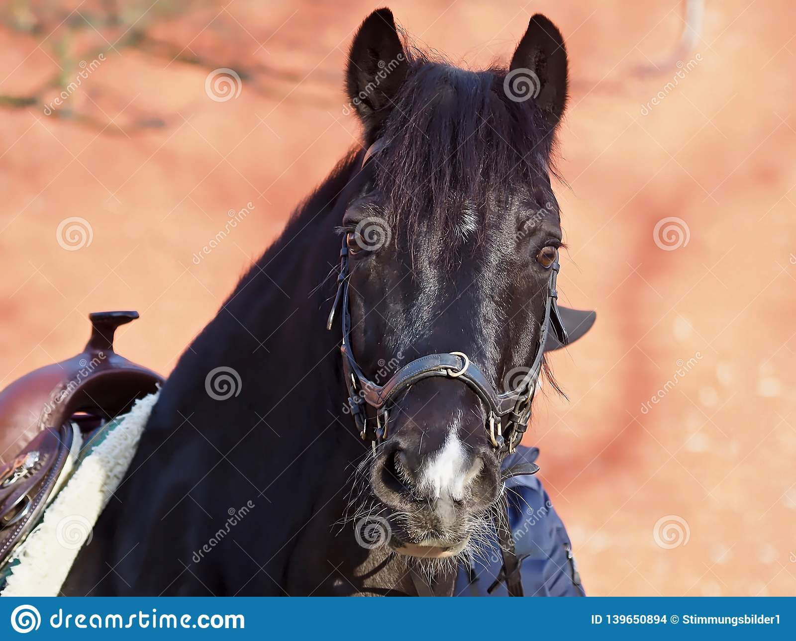 Beautiful black horse with a western saddle