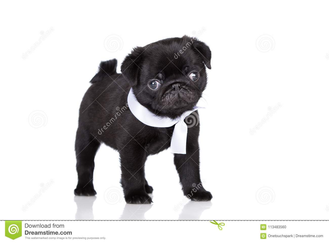 Black Pug Puppy On White Background Stock Photo Image Of Mammal Cute 113483560