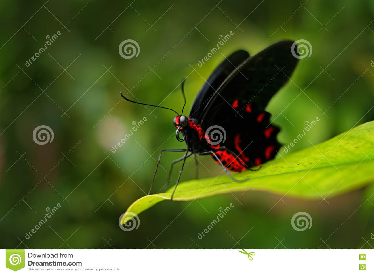 Beautiful black and red poison butterfly, Antrophaneura semperi, in the nature green forest habitat, wildlife, Indonesia. Insect