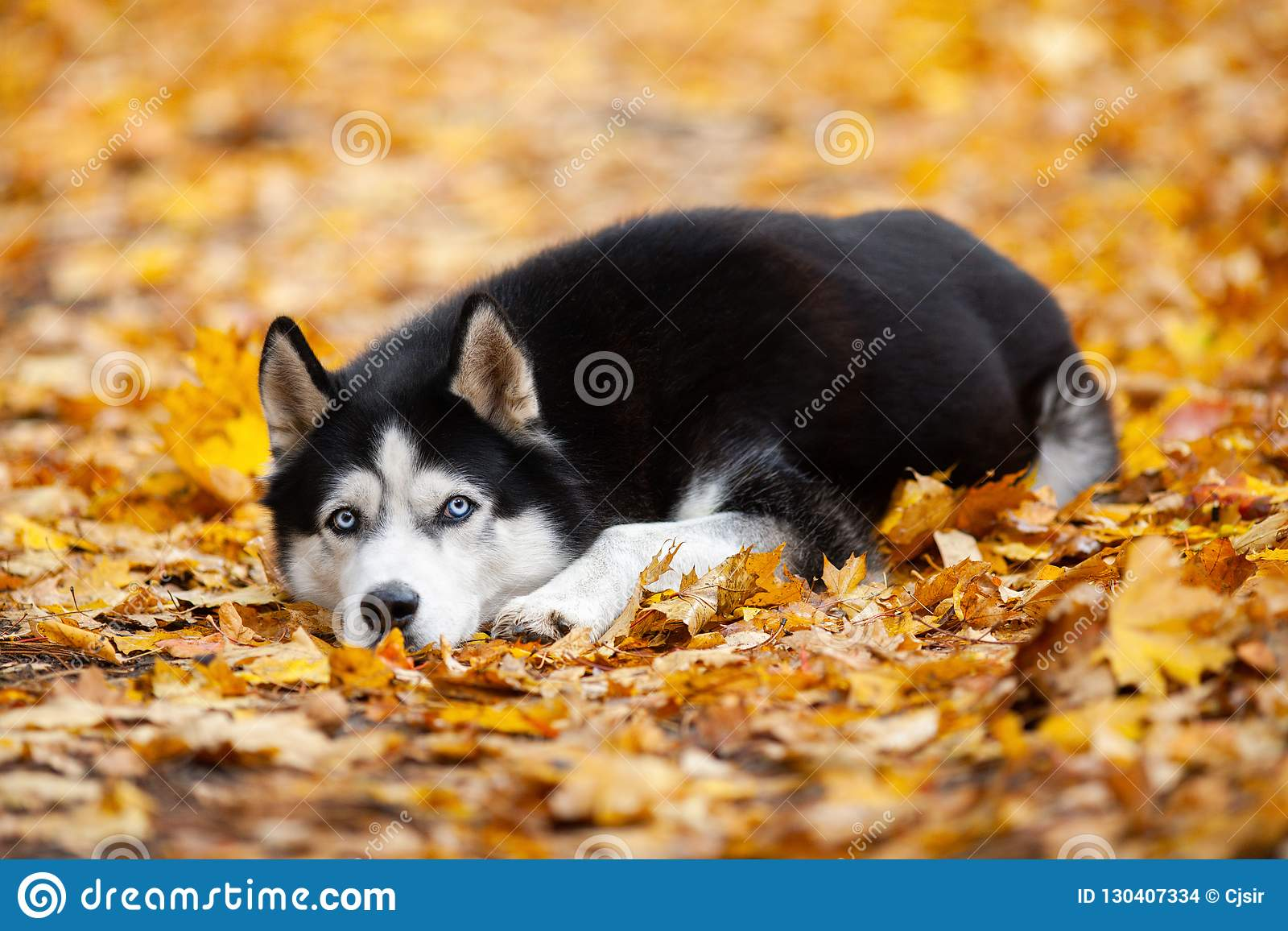 Beautiful black-and-white blue-eyed Siberian Husky lies in the yellow autumn leaves. Cheerful autumn dog.