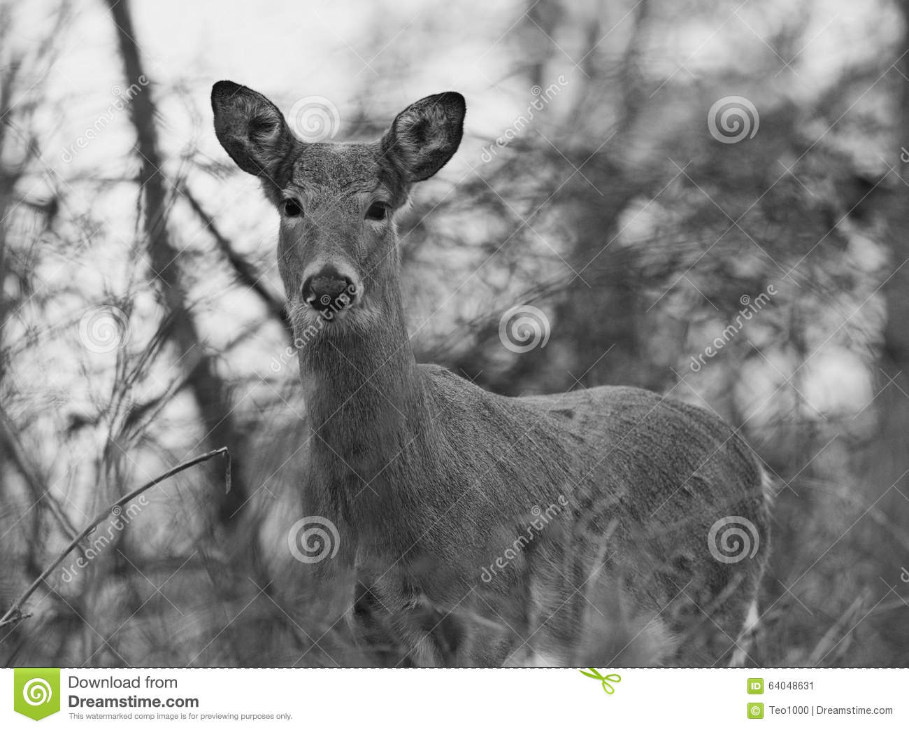 Beautiful black and white photo of the wild deer stock image image