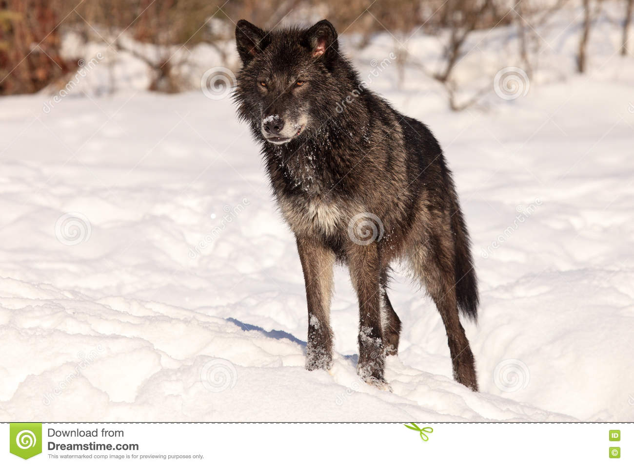 15 102 Black Wolf Photos Free Royalty Free Stock Photos From Dreamstime