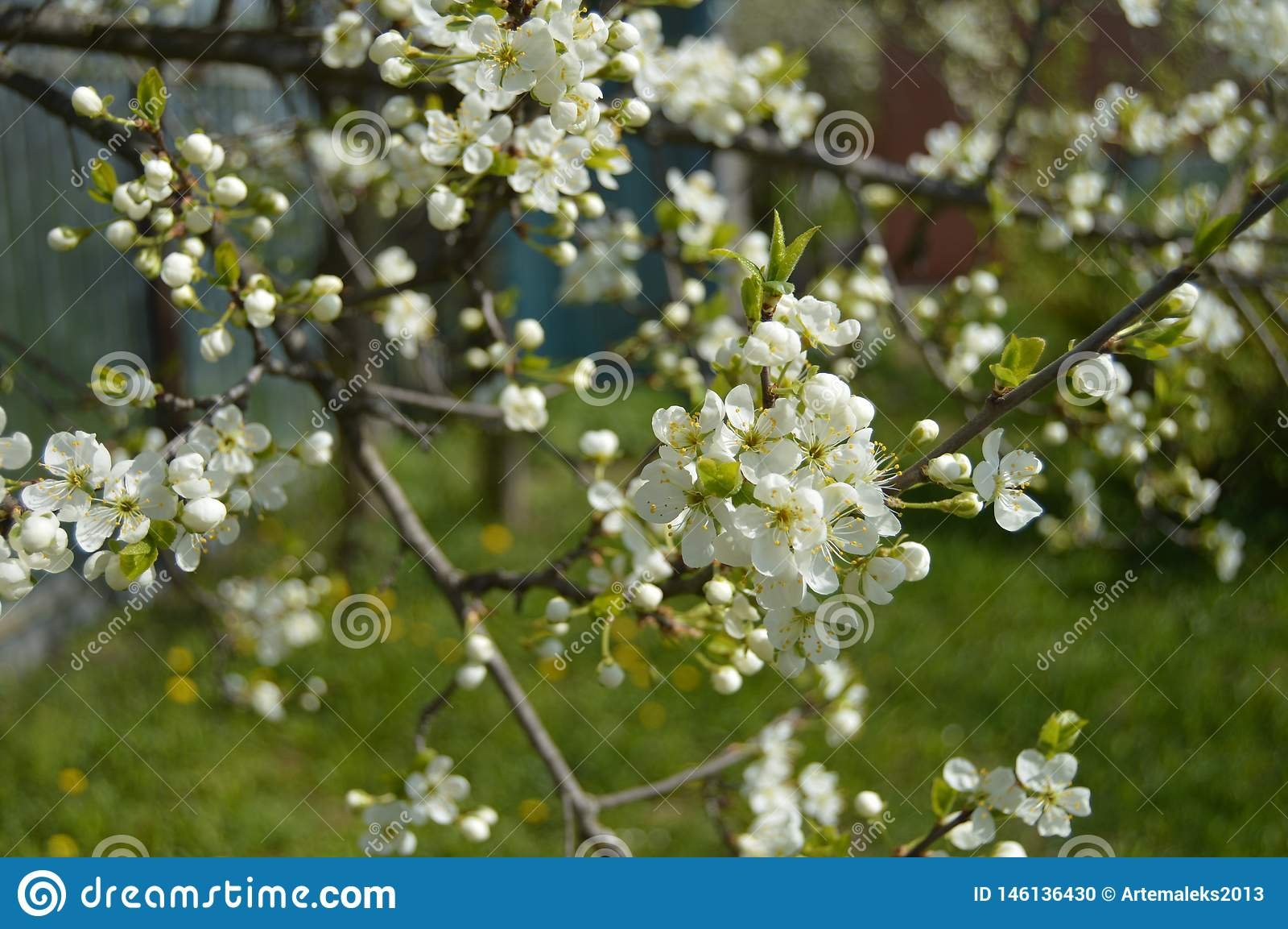 Beautiful blooming apple tree in spring garden