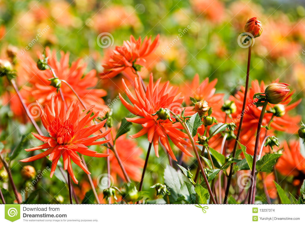 Beautiful blooming dahlia flowers stock photo image of growth beautiful blooming dahlia flowers izmirmasajfo
